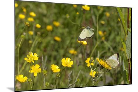Moorland Clouded Yellow Butterfly (Colias Palaeno) Male And Female-Jussi Murtosaari-Mounted Photographic Print
