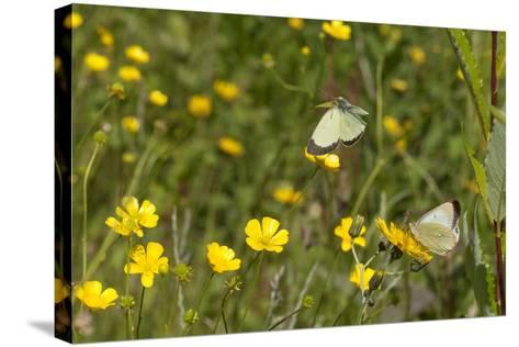 Moorland Clouded Yellow Butterfly (Colias Palaeno) Male And Female-Jussi Murtosaari-Stretched Canvas Print