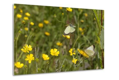 Moorland Clouded Yellow Butterfly (Colias Palaeno) Male And Female-Jussi Murtosaari-Metal Print
