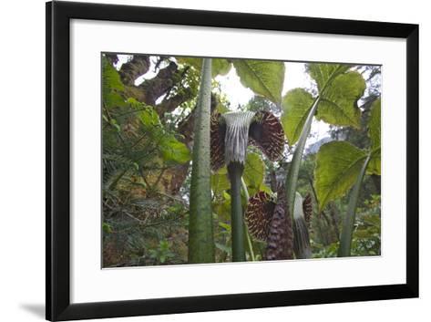 Jack In The Pulpits (Arisaema Utile) Makalu Mountain-Dong Lei-Framed Art Print