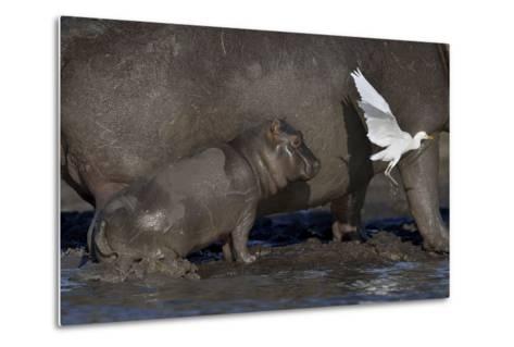 Baby Hippopotamus (Hippopotamus Amphibius) Spooked By Little Egret (Egretta Garzetta) In Flight-Lou Coetzer-Metal Print
