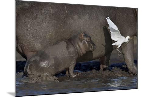 Baby Hippopotamus (Hippopotamus Amphibius) Spooked By Little Egret (Egretta Garzetta) In Flight-Lou Coetzer-Mounted Photographic Print