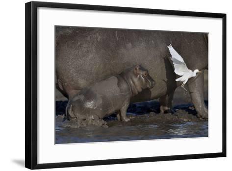 Baby Hippopotamus (Hippopotamus Amphibius) Spooked By Little Egret (Egretta Garzetta) In Flight-Lou Coetzer-Framed Art Print