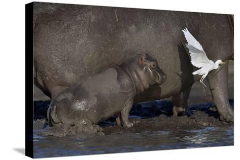 Baby Hippopotamus (Hippopotamus Amphibius) Spooked By Little Egret (Egretta Garzetta) In Flight-Lou Coetzer-Stretched Canvas Print