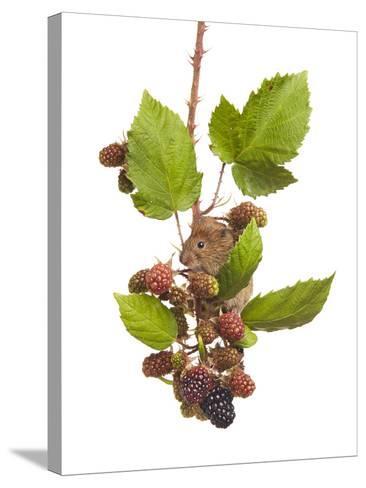 Bank Vole (Clethrionomys Glareolus) Feeding On Blackberries, Worcestershire, England-Tim Hunt-Stretched Canvas Print