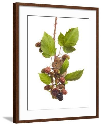 Bank Vole (Clethrionomys Glareolus) Feeding On Blackberries, Worcestershire, England-Tim Hunt-Framed Art Print