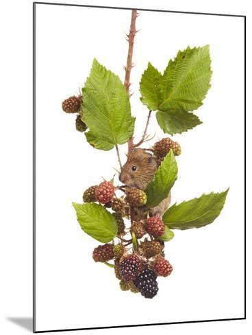 Bank Vole (Clethrionomys Glareolus) Feeding On Blackberries, Worcestershire, England-Tim Hunt-Mounted Photographic Print