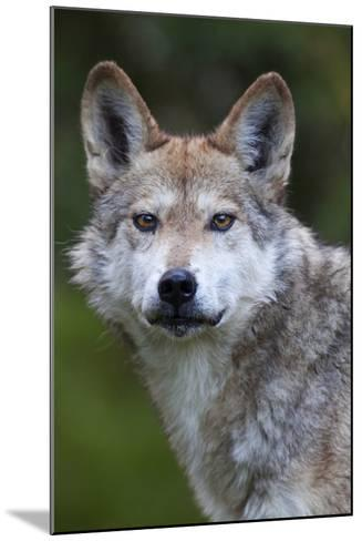 Mexican Wolf (Canis Lupus Baileyi), Mexican Subspecies, Probably Extinct In The Wild, Captive-Claudio Contreras-Mounted Photographic Print