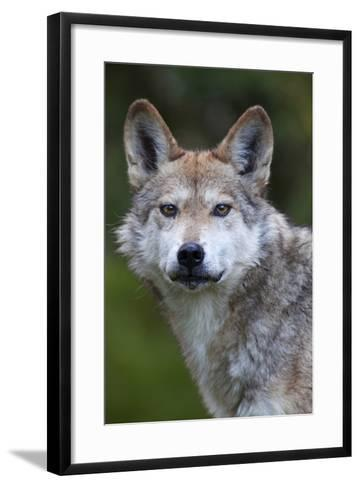 Mexican Wolf (Canis Lupus Baileyi), Mexican Subspecies, Probably Extinct In The Wild, Captive-Claudio Contreras-Framed Art Print