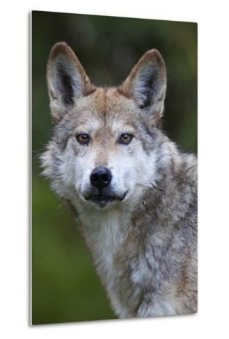 Mexican Wolf (Canis Lupus Baileyi), Mexican Subspecies, Probably Extinct In The Wild, Captive-Claudio Contreras-Metal Print