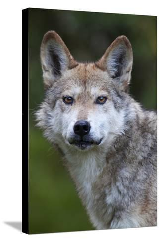 Mexican Wolf (Canis Lupus Baileyi), Mexican Subspecies, Probably Extinct In The Wild, Captive-Claudio Contreras-Stretched Canvas Print