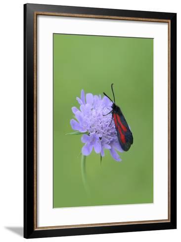 Moth (Zygaena Osterodensis) Feeding On Flower, Viscos, Pyrenees National Park, France, July-Robert Thompson-Framed Art Print