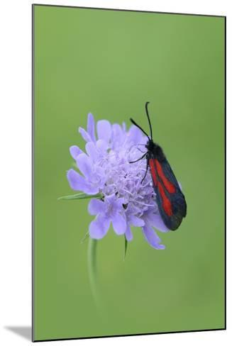 Moth (Zygaena Osterodensis) Feeding On Flower, Viscos, Pyrenees National Park, France, July-Robert Thompson-Mounted Photographic Print