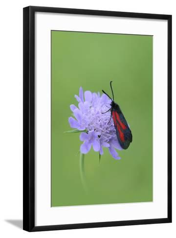Moth (Zygaena Osterodensis) Feeding On Flower, Viscos, Pyrenees National Park, France, July-Robert Thompson-Framed Art Print