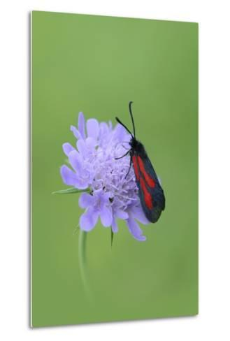 Moth (Zygaena Osterodensis) Feeding On Flower, Viscos, Pyrenees National Park, France, July-Robert Thompson-Metal Print