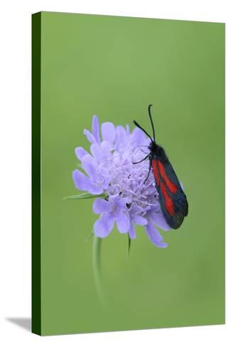 Moth (Zygaena Osterodensis) Feeding On Flower, Viscos, Pyrenees National Park, France, July-Robert Thompson-Stretched Canvas Print