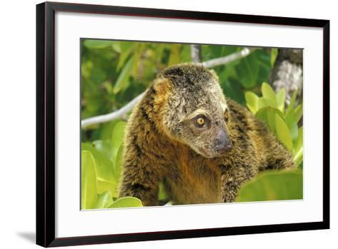 Sulawesi Bear Cuscus (Ailurops Ursinus) Sulawesi, Indonesia. Vulnerable Species-Roberto Rinaldi-Framed Art Print