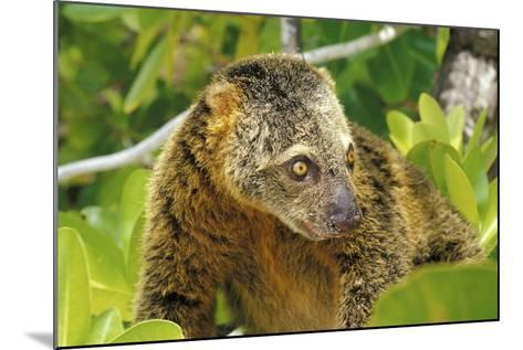 Sulawesi Bear Cuscus (Ailurops Ursinus) Sulawesi, Indonesia. Vulnerable Species-Roberto Rinaldi-Mounted Photographic Print