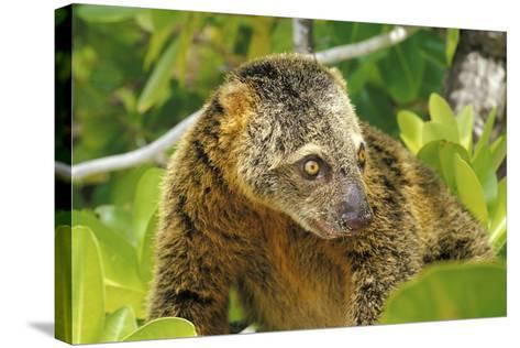 Sulawesi Bear Cuscus (Ailurops Ursinus) Sulawesi, Indonesia. Vulnerable Species-Roberto Rinaldi-Stretched Canvas Print