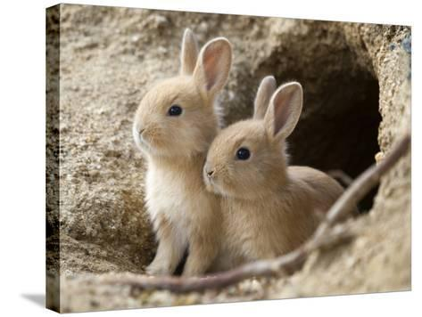 Feral Domestic Rabbit (Oryctolagus Cuniculus) Babies At Burrow-Yukihiro Fukuda-Stretched Canvas Print