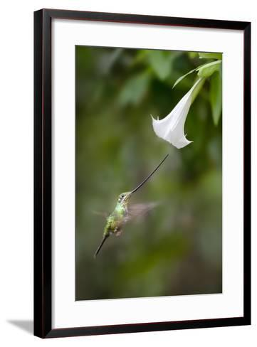 Sword-Billed Hummingbird (Ensifera Ensifera) Feeding At An Angel'S Or Devil'S Trumpet Flower-Nick Garbutt-Framed Art Print