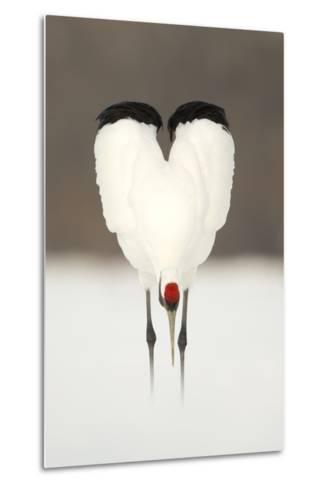 Japanese Crane (Grus Japonensis) Displaying, Wings In Heart Shape, Hokkiado, Japan, February-Danny Green-Metal Print