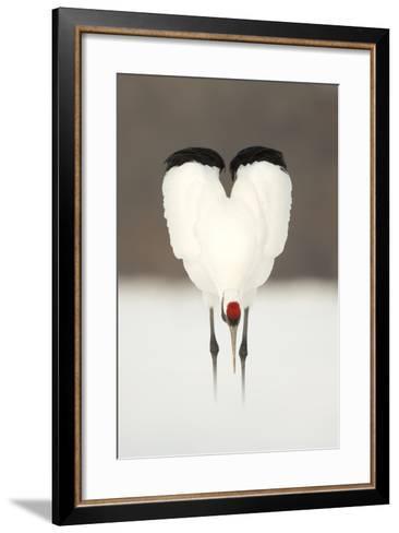 Japanese Crane (Grus Japonensis) Displaying, Wings In Heart Shape, Hokkiado, Japan, February-Danny Green-Framed Art Print
