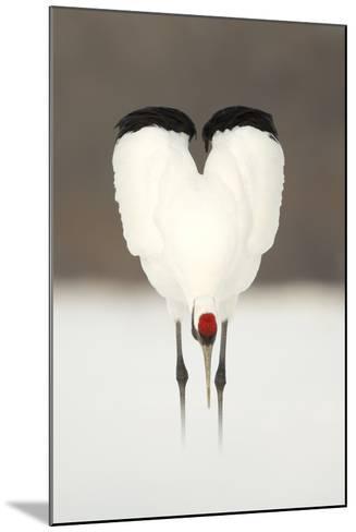 Japanese Crane (Grus Japonensis) Displaying, Wings In Heart Shape, Hokkiado, Japan, February-Danny Green-Mounted Photographic Print