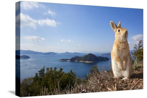 Feral Domestic Rabbit (Oryctolagus Cuniculus) Standing On Hind Legs On Coast-Yukihiro Fukuda-Stretched Canvas Print