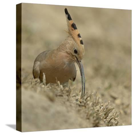 Common Hoopoe (Upupa Epops) Feeding On Ground, India-Loic Poidevin-Stretched Canvas Print