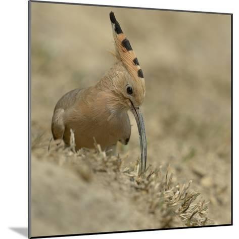 Common Hoopoe (Upupa Epops) Feeding On Ground, India-Loic Poidevin-Mounted Photographic Print