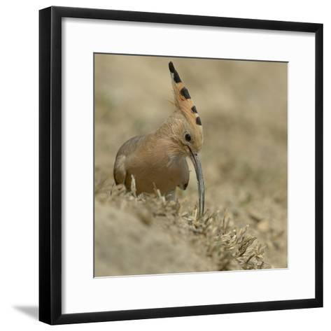 Common Hoopoe (Upupa Epops) Feeding On Ground, India-Loic Poidevin-Framed Art Print