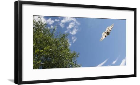 Mountain Apollo (Parnassius Apollo) In Flight, Southwest Finland, February, July-Jussi Murtosaari-Framed Art Print