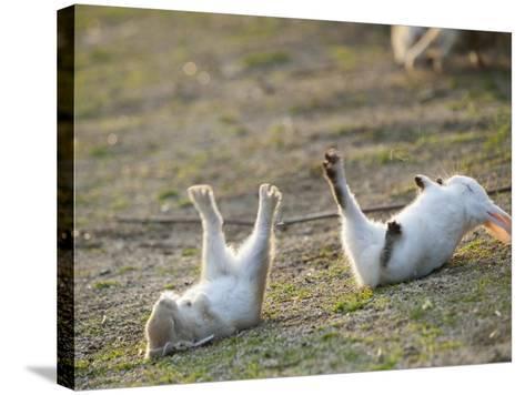 Feral Domestic Rabbit (Oryctolagus Cuniculus) Baby Rabbits-Yukihiro Fukuda-Stretched Canvas Print