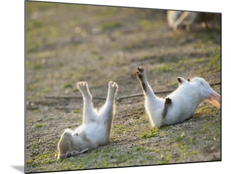 Feral Domestic Rabbit (Oryctolagus Cuniculus) Baby Rabbits-Yukihiro Fukuda-Mounted Photographic Print