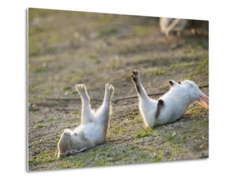 Feral Domestic Rabbit (Oryctolagus Cuniculus) Baby Rabbits-Yukihiro Fukuda-Metal Print