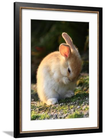 Feral Domestic Rabbit (Oryctolagus Cuniculus) Cleaning Its Face-Yukihiro Fukuda-Framed Art Print