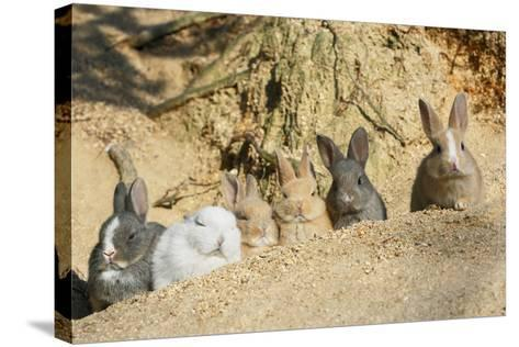 Feral Domestic Rabbit (Oryctolagus Cuniculus) Babies Resting Near Burrow-Yukihiro Fukuda-Stretched Canvas Print