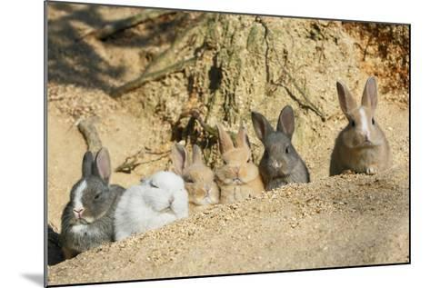 Feral Domestic Rabbit (Oryctolagus Cuniculus) Babies Resting Near Burrow-Yukihiro Fukuda-Mounted Photographic Print