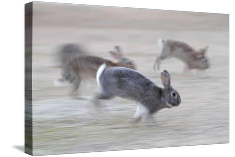 Feral Domestic Rabbit (Oryctolagus Cuniculus) Group Running From Bird Of Prey-Yukihiro Fukuda-Stretched Canvas Print