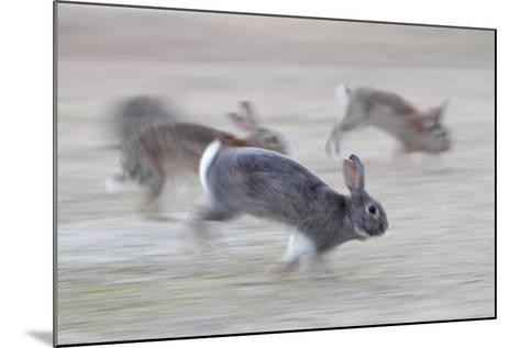 Feral Domestic Rabbit (Oryctolagus Cuniculus) Group Running From Bird Of Prey-Yukihiro Fukuda-Mounted Photographic Print