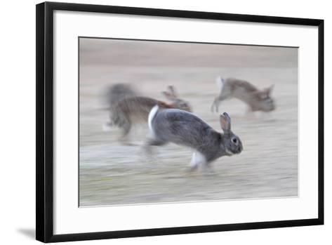 Feral Domestic Rabbit (Oryctolagus Cuniculus) Group Running From Bird Of Prey-Yukihiro Fukuda-Framed Art Print