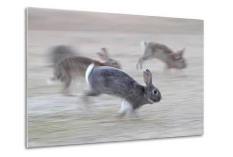 Feral Domestic Rabbit (Oryctolagus Cuniculus) Group Running From Bird Of Prey-Yukihiro Fukuda-Metal Print
