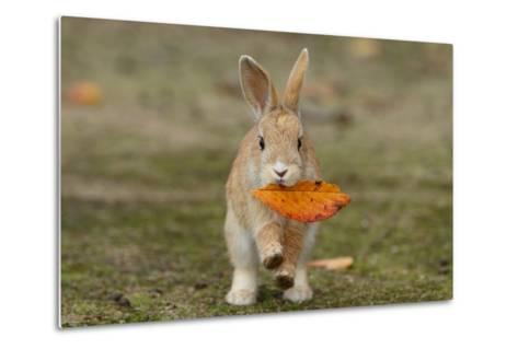 Feral Domestic Rabbit (Oryctolagus Cuniculus) Juvenile Running With Dead Leaf In Mouth-Yukihiro Fukuda-Metal Print