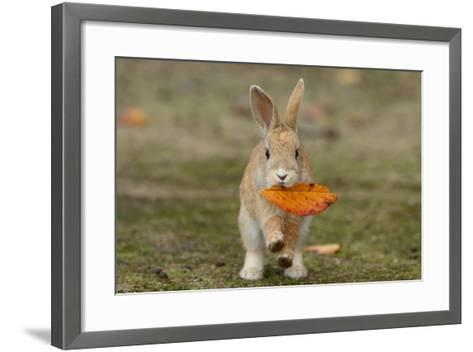 Feral Domestic Rabbit (Oryctolagus Cuniculus) Juvenile Running With Dead Leaf In Mouth-Yukihiro Fukuda-Framed Art Print
