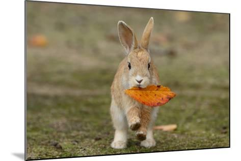 Feral Domestic Rabbit (Oryctolagus Cuniculus) Juvenile Running With Dead Leaf In Mouth-Yukihiro Fukuda-Mounted Photographic Print
