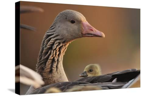 Graylag Gosling (Anser Anser) Resting Under Parent'S Wing, Pusztaszer, Hungary-Bence Mate-Stretched Canvas Print