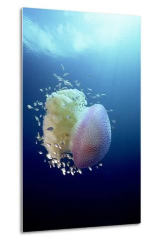 Jellyfish (Versuriga Anadyomene) With Fish Finding Protection Among Its Tentacles, Palau, Pacific-Michael Pitts-Metal Print