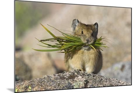 North American Pika (Ochotona Princeps) Carrying Grasses For Winter Storage, Mount Evans, Colorado- Shattil & Rozinski-Mounted Photographic Print