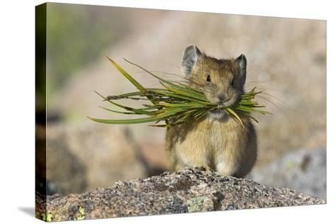 North American Pika (Ochotona Princeps) Carrying Grasses For Winter Storage, Mount Evans, Colorado- Shattil & Rozinski-Stretched Canvas Print